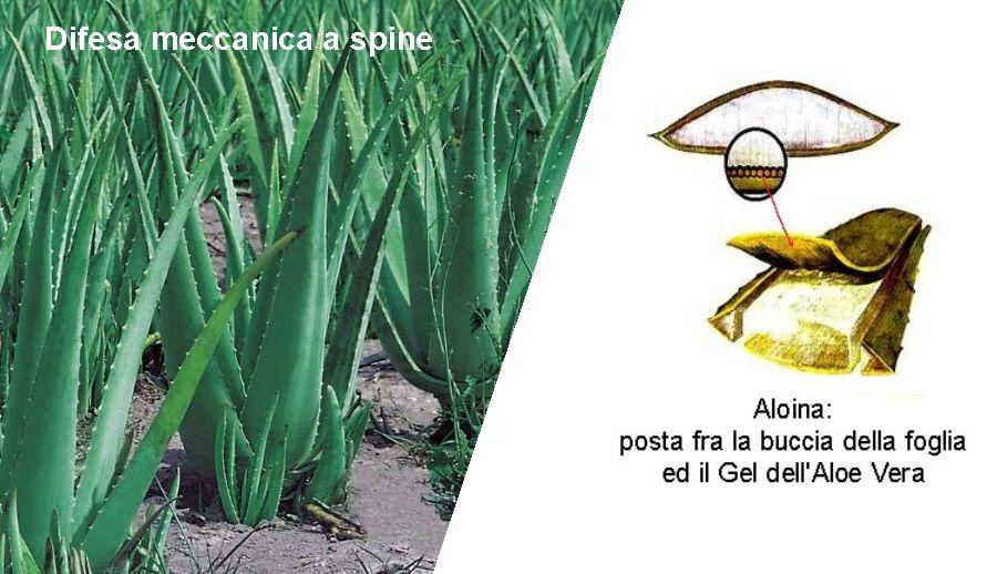 Difesa Aloe Vera
